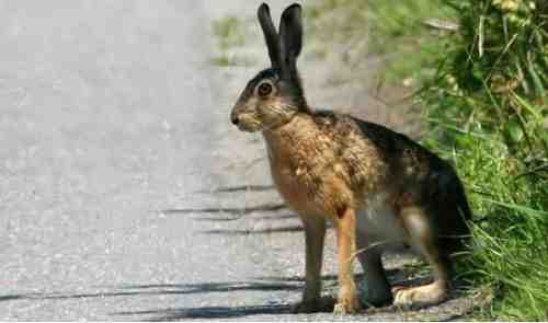 Brown_hare